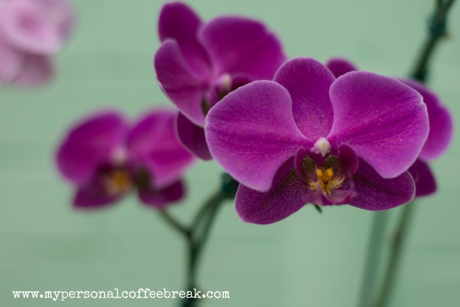 Day52_Orchids