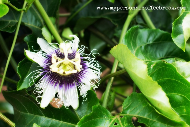Day61_Passion fruit flower